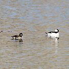 Buffleheads by Alyce Taylor