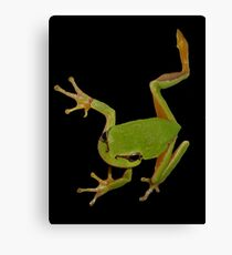 European Green Tree Frog Isolated Canvas Print