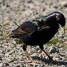 colorful European Starling by memaggie