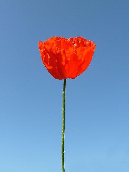 Poppy in the Sky by KUJO-Photo