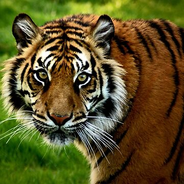 ~Sumatran Tiger! by asymons