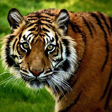 ~Sumatran Tiger! by asymons