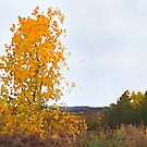Lonely Cottonwood in Fall  by Shelli Fitzpatrick
