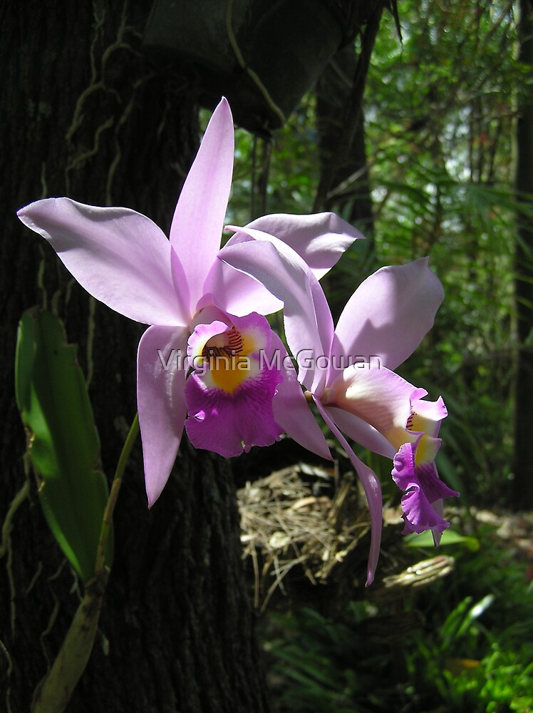 Pink Orchid by Virginia McGowan
