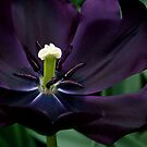 Black Charm - Triumph Tulip by Alison Cornford-Matheson