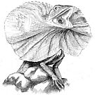 Frilled Neck Lizard by liljo