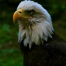 Bald Eagle by RockyWalley