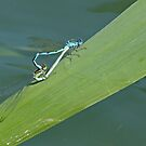 Goblet-Marked Damselfly by Robert Abraham