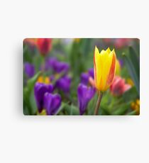 Yellow and red tulip Canvas Print