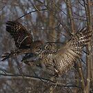 Territorial Owls by DigitallyStill