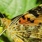 Texture of butterfly's wings by zolim