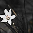 White on black flower by Cvail73