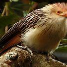 #1374 - Guira Cuckoo by MyInnereyeMike