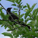 Big Black Bird in a Cherry Tree by Lolabud