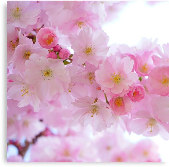 Sakura flowers blossom by Natalja Picugina