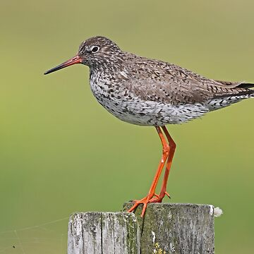 Redshank by Hawker
