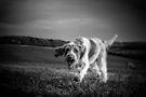 Brown Roan Italian Spinone Dog by heidiannemorris