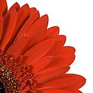 Red Gerbera by Trevor Patterson