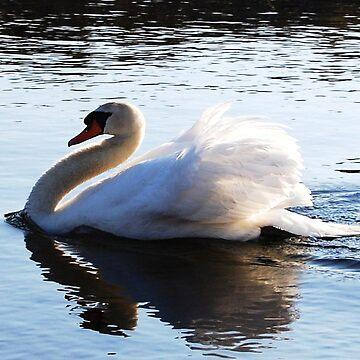 Swan by donnachapman