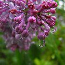 Lilac Tears by Tracy Wazny
