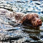 Brown Roan Italian Spinone Dog Swimming by heidiannemorris