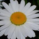 Daisy by grannyjune