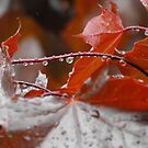 Looking through the red maple ...I found the rain caught in it's leaves... by Tracy Wazny