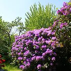 Purple Rhodos by Gilberte