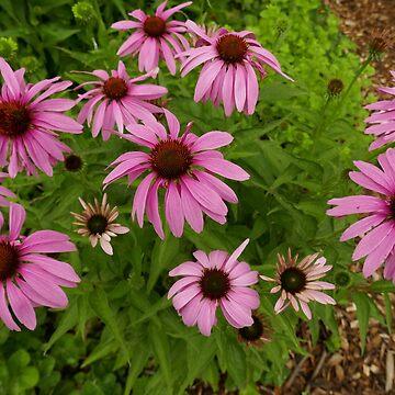 Purple Coneflowers by BettyMackey
