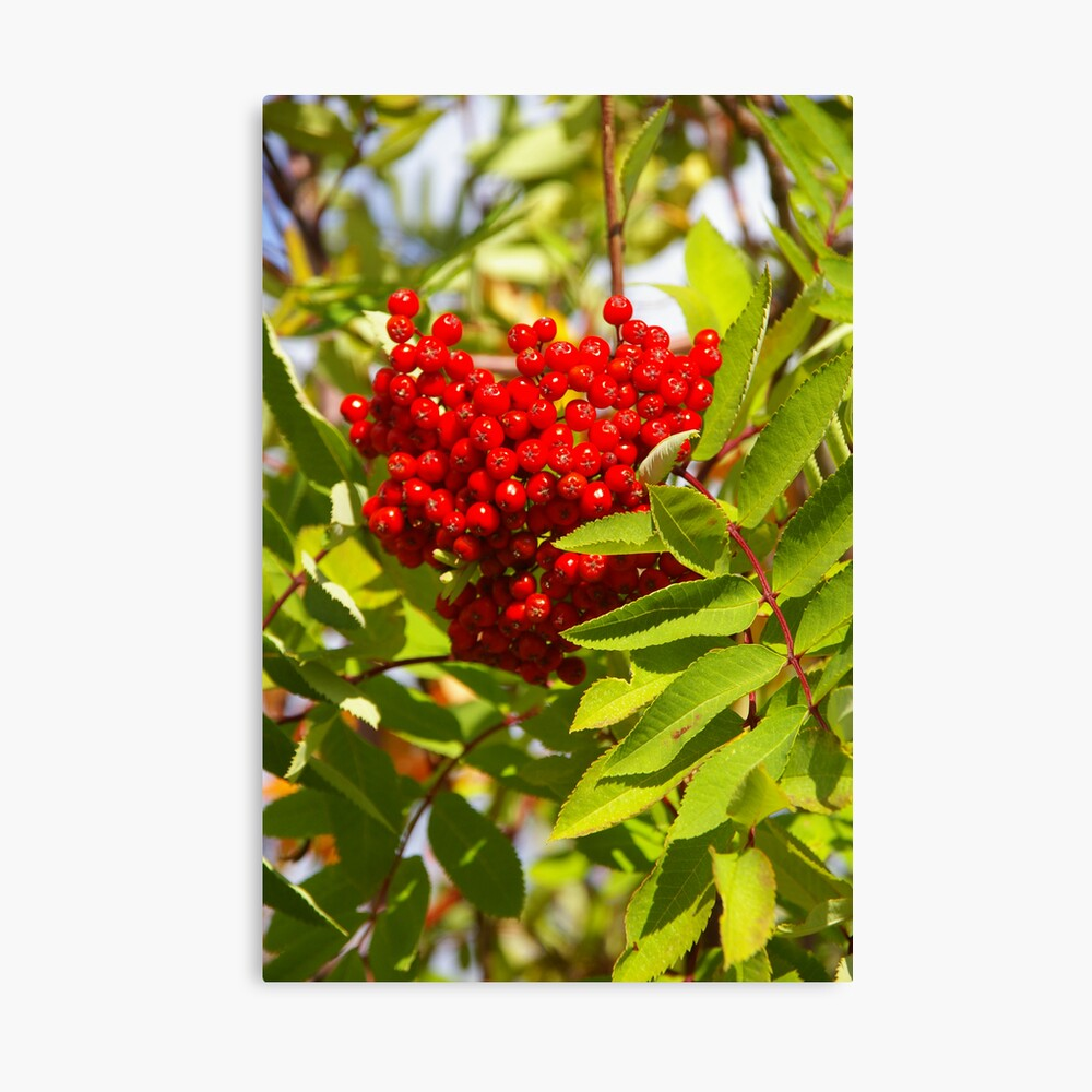 Red Berries? No, I Said Get Me The Red BERETS! Canvas Print