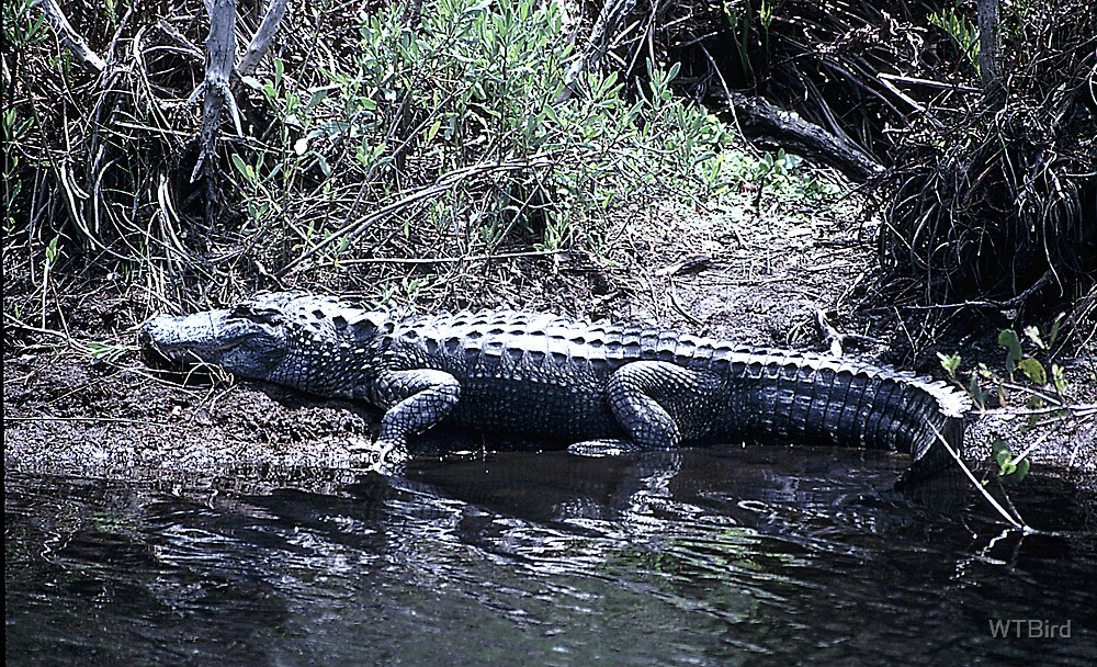 Gator at St Marks  by WTBird