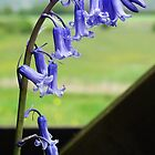 English Bluebells - Hyacinthoides non-scripta by Barrie Woodward