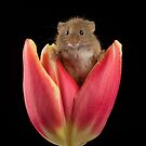 Harvest Mouse In Tulip by Miles Herbert