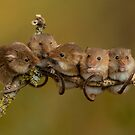 Harvest Mice On A Twig  by Miles Herbert