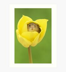 Harvest Mouse in Yellow Tulip Art Print