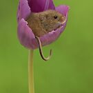 Harvest Mouse in a Tulip Flower by Miles Herbert