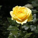 yellow rose von Michael Hofmann