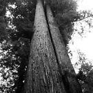 Giant Sequoyas by Karen Kaleta