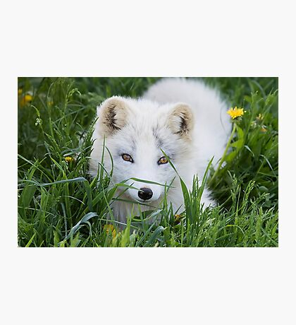 Arctic fox kit in the grass Photographic Print