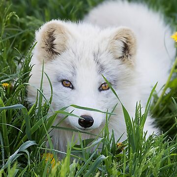 Arctic fox kit in the grass by darby8