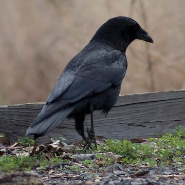 Lonely Crow by spookydooky