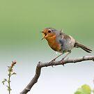 European robin (Erithacus rubecula) by Stephen Liptrot