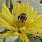 Honey Bee gathering nectar; Atascadero, CA  by leih2008