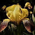 Yellow Iris With Maroon Falls by Len Bomba