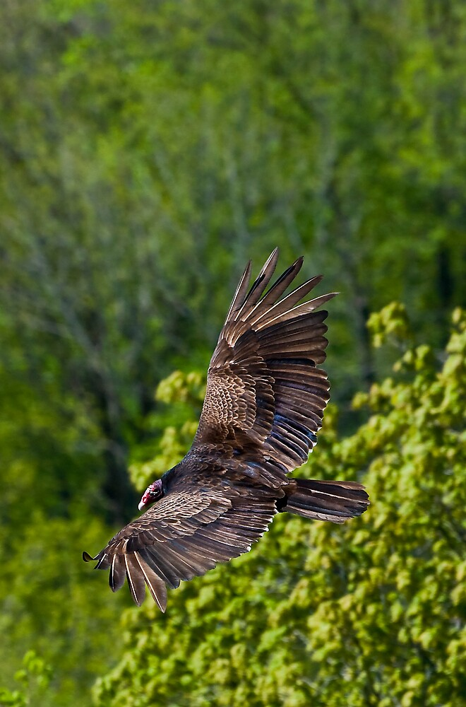 Turkey Vulture from above on Spectacular Wings by MarkEmmerson