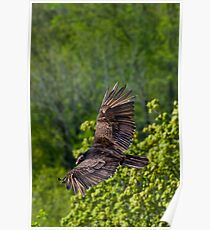 Turkey Vulture from above on Spectacular Wings Poster