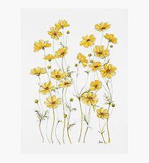 Yellow Cosmos Flowers Photographic Print
