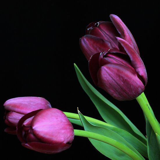 dark purple tulips photographic prints by ra photography redbubble