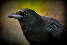 Carrion crow by missmoneypenny