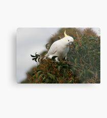 Sulphur Crested Cockatoo Metal Print